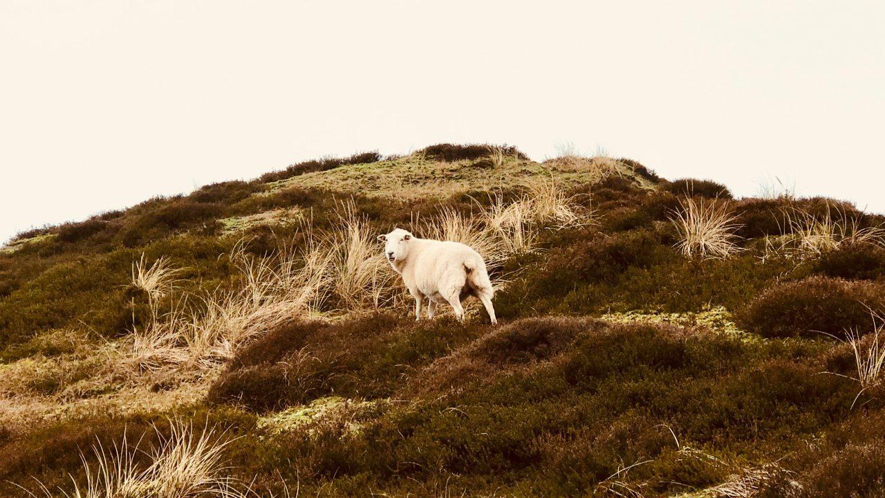 Sylt List Wellness Reise Dünen Schaf