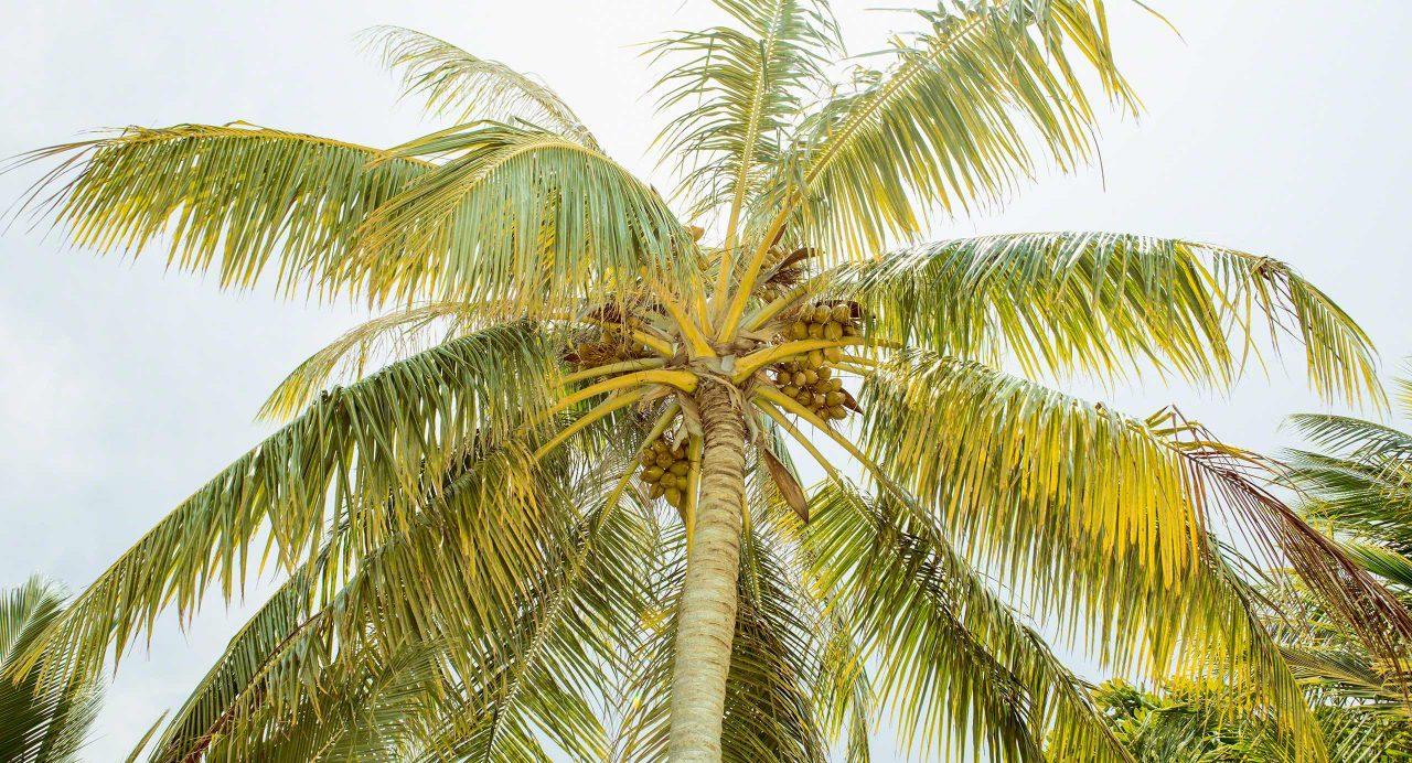Kokosnuss to go. Foto © Mirco Seyfert