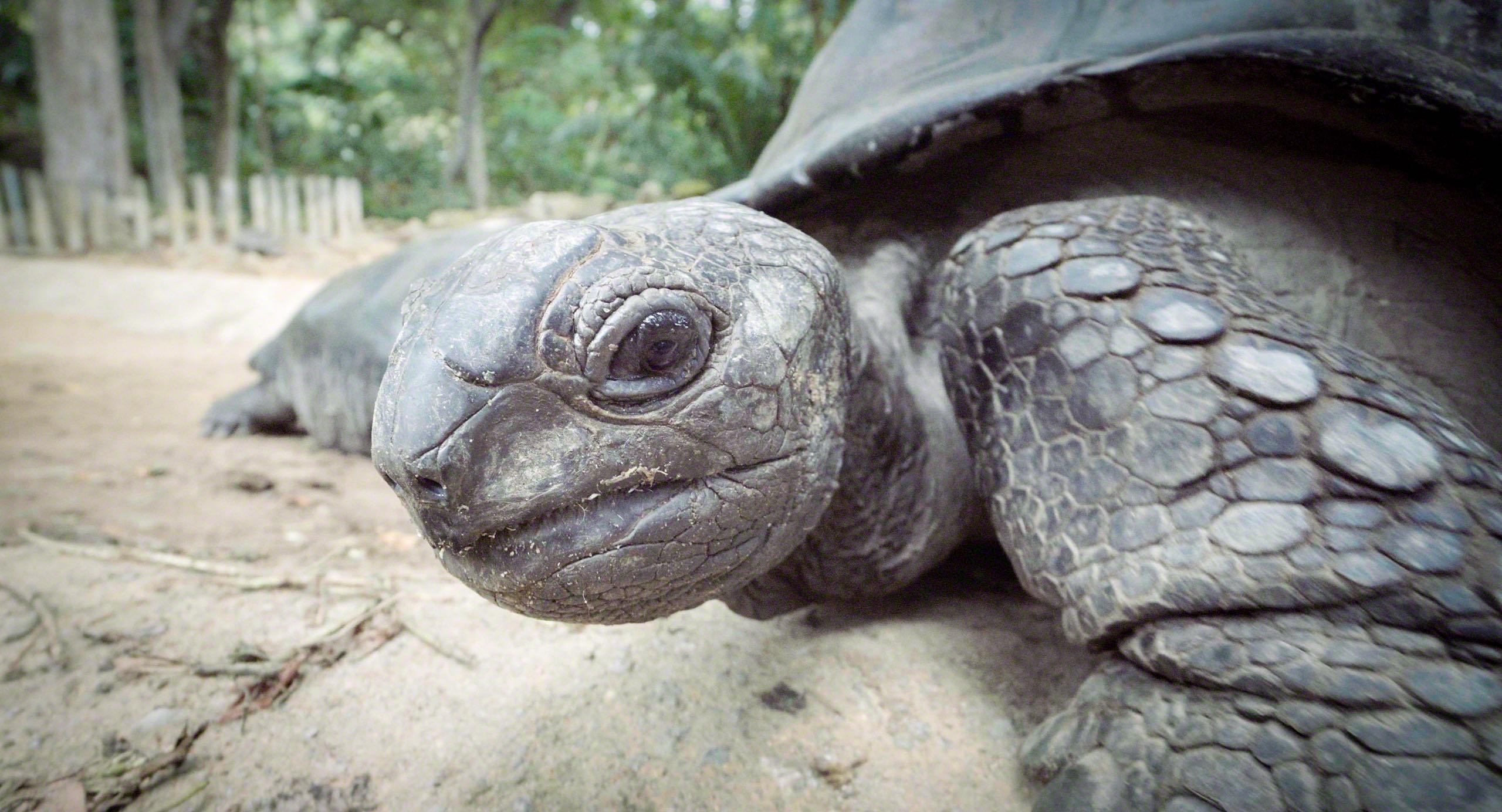 Seychellen Aldabra Riesenschildkröte im Mont Fleuri Victoria © Mirco Seyfert