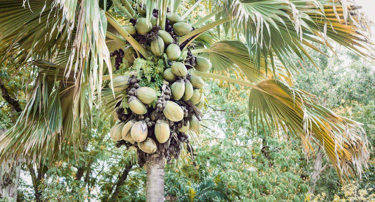 Seychellen Bananenstauden La Digue © Mirco Seyfert