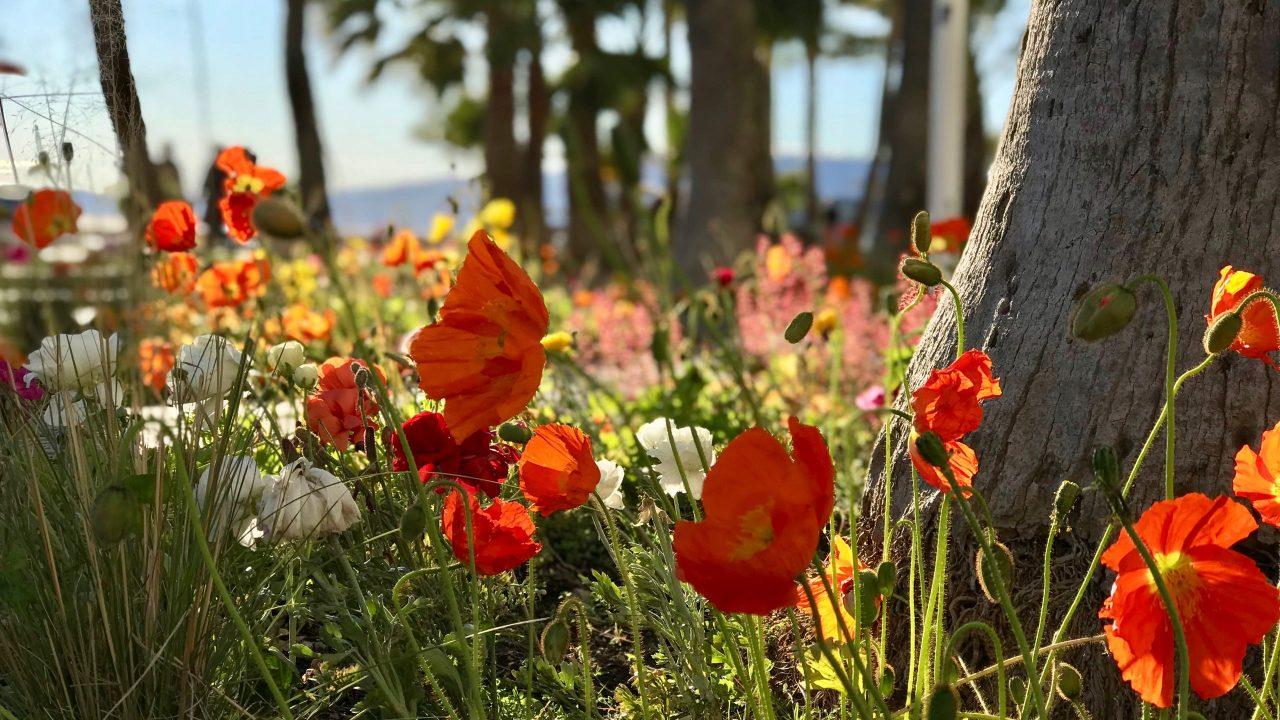 Der blühende Frühling in Cannes macht selbst die Straße zum Garten Eden.