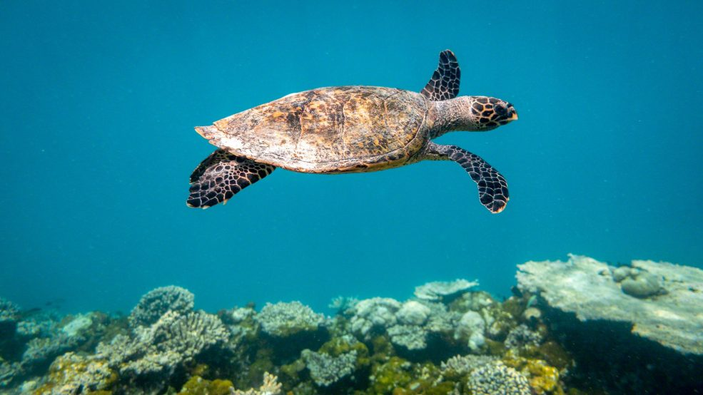 Überwältigend: Schnorcheln im Schildkröten-Paradies ©Mirco Seyfert