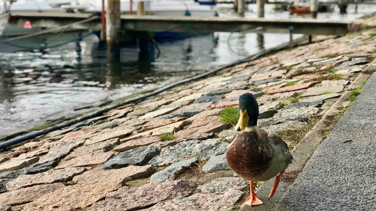 Artenreiche Ostsee: Watscheln mit einem hübschen Vogel in Begleitung.